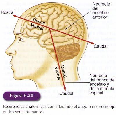 6.2. La organización del Sistema Nervioso - Psikipedia