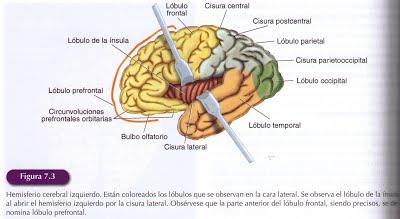 Funciones del sistema limbico humano